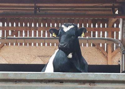 Bulle schaut über Stall hinvor
