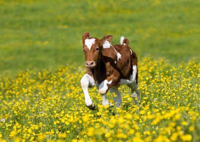 Holstein Rind, Kalb rennt auf Blumenwiese